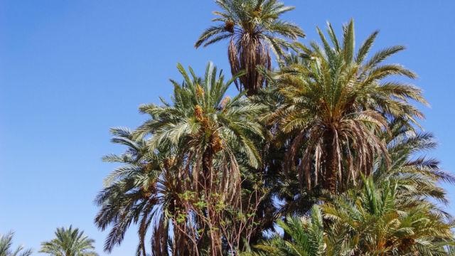 立派なツマルの木