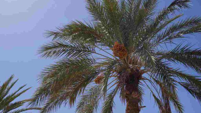 ツマルの木